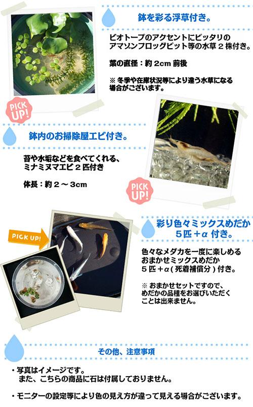 (メダカ) めだか飼育スタートセット ミックス 鉢 水槽 水草 浮草 エサ シュリンプ メダカ 淡水魚