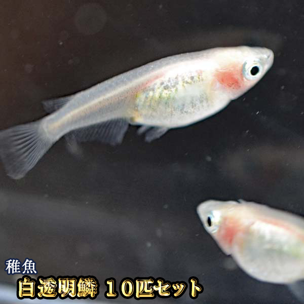 白透明鱗めだか 出荷 未選別 稚魚 SS~Sサイズ 10匹セット 白透明鱗メダカ メーカー直売 紅ほっぺ