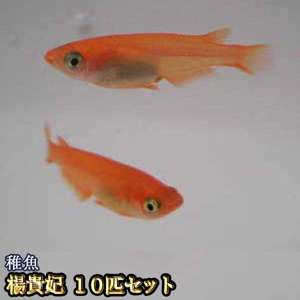 【限定大特価】楊貴妃めだか 稚魚 SS~Sサイズ 10匹セット / 楊貴妃メダカ