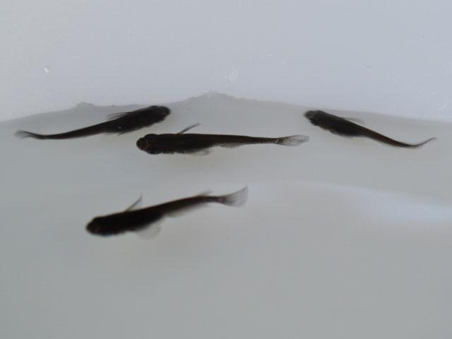小川ブラックめだか 稚魚 SS~Sサイズ 20匹セット / 小川ブラックメダカ (※北海道・沖縄は別途送料必要)