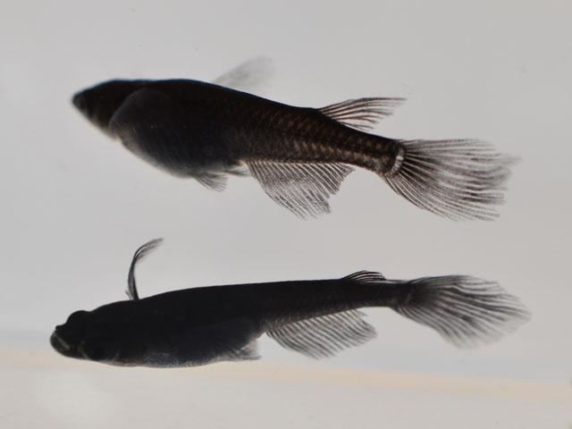 サタン / オロチヒレ長スワローめだか 未選別 稚魚 SS~Sサイズ 5匹セット / オロチヒレ長スワローメダカ