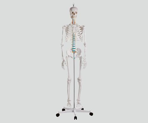 骨格モデル 178cm 2960 1個【条件付返品可】