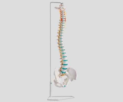 脊椎可動型モデル 750mm A250 1個【条件付返品可】