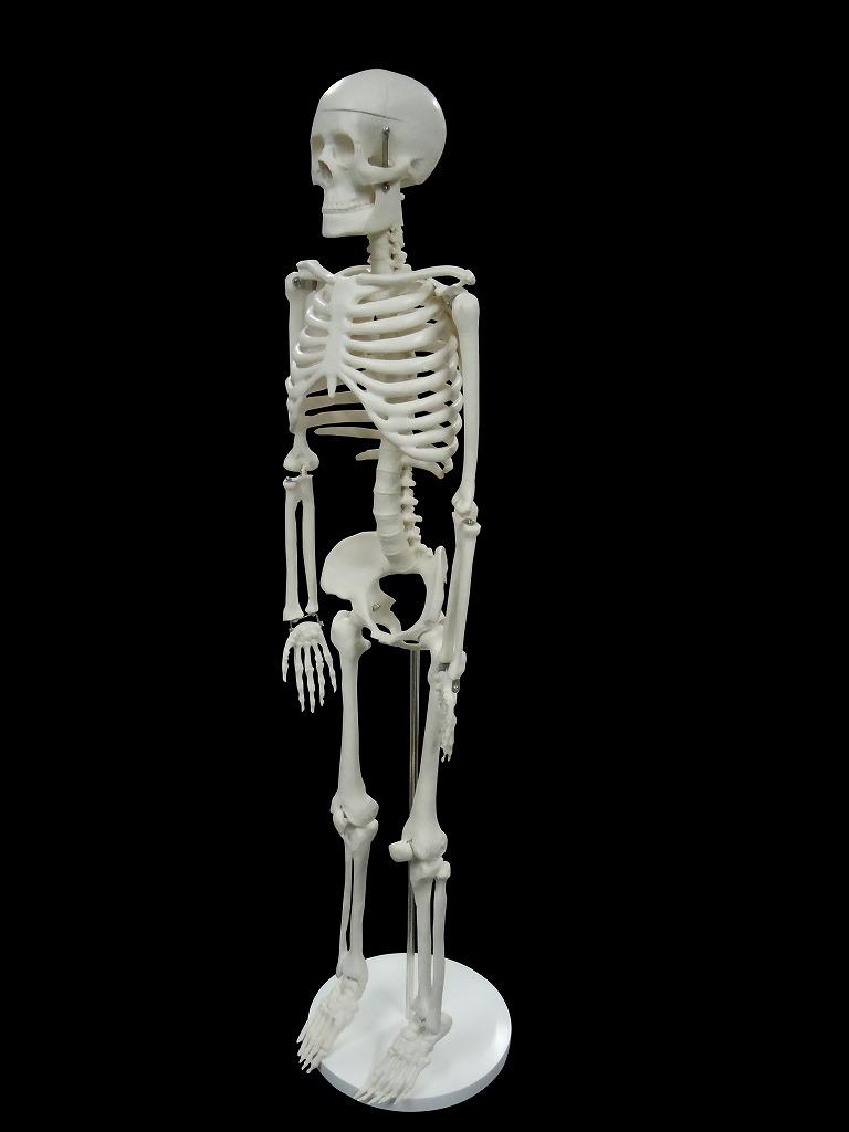 【送料無料】人体模型 全身骨格模型 1/2モデル 85cm