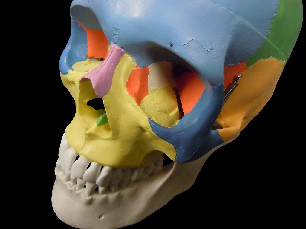【送料無料】人体模型 頭蓋骨模型 実物大 色分け