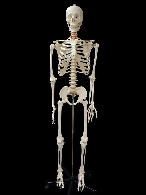 【送料無料 人体模型 等身大 全身骨格 精密等身大模型 170cm