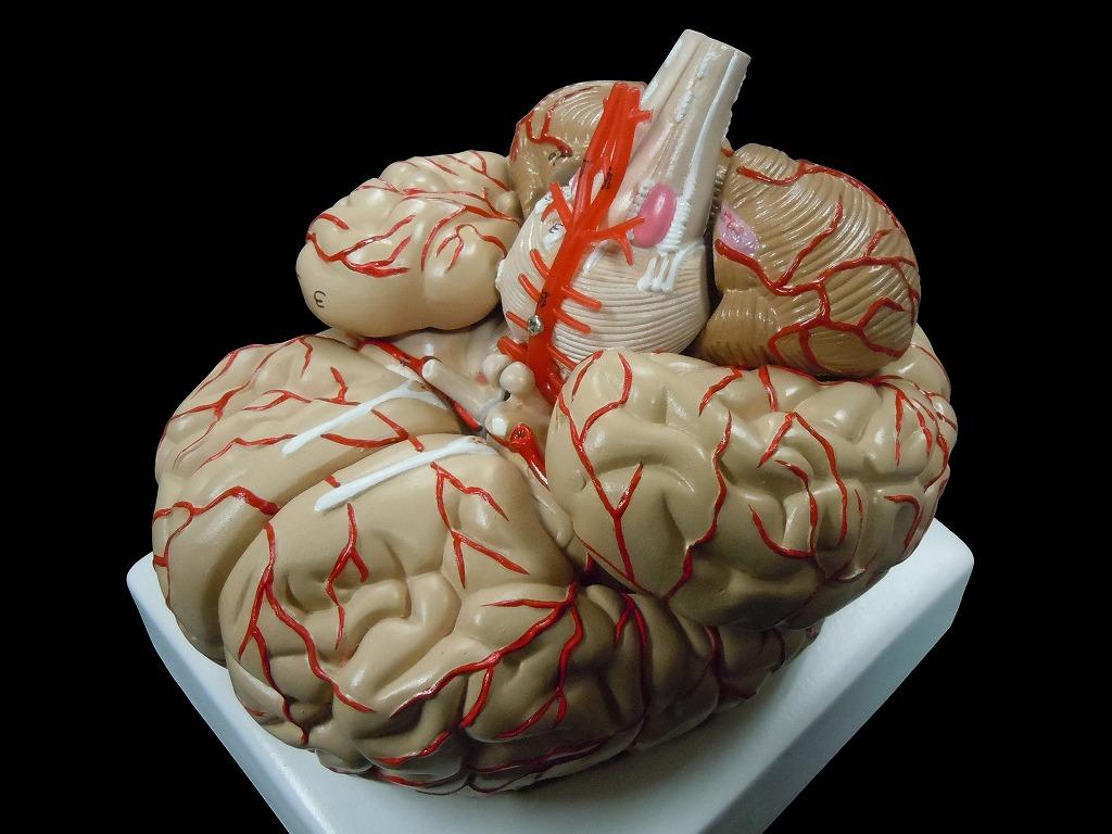【送料無料】人体模型 脳 模型 脳解剖模型 取り外し可能 高性能 実物大