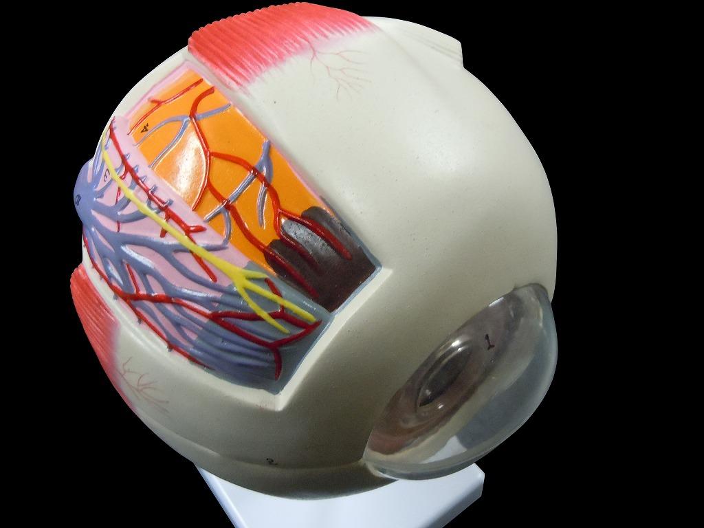 【送料無料】人体模型 眼球模型 目 6倍拡大