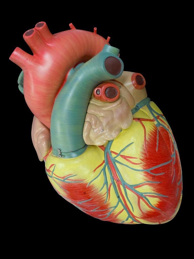 【送料無料】 人体模型 心臓3倍拡大模型【スタンド付き】