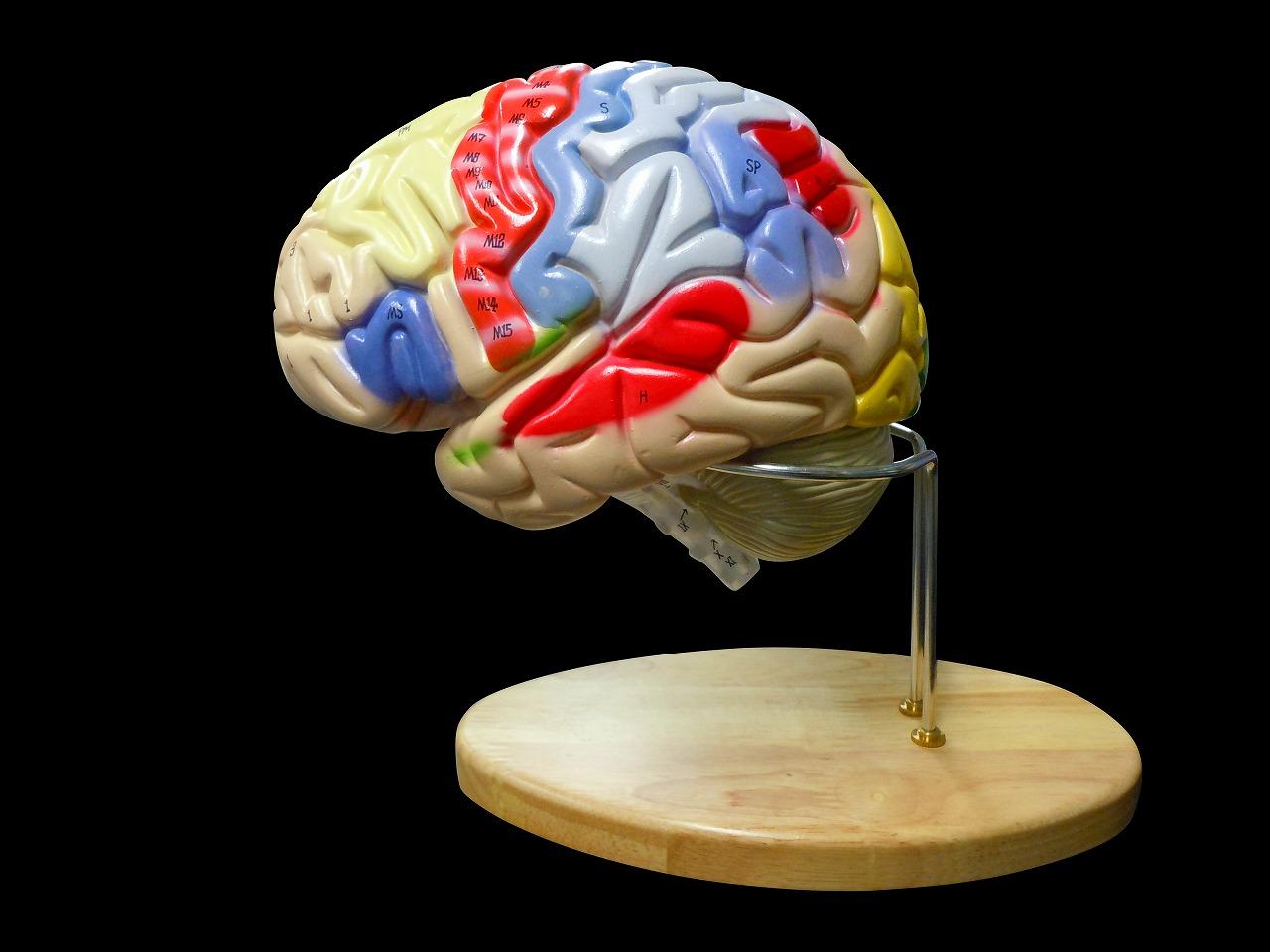 【送料無料】人体模型 脳 模型 脳解剖模型 取り外し可能 高性能 脳2倍拡大 領域解説模型 スタンド付き