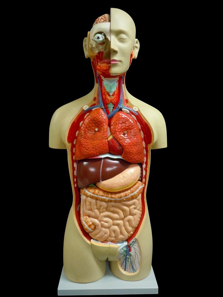 【送料無料】人体模型 内臓模型 トルソー アルティメットEX27分解 心臓 脳 生殖器 消化器