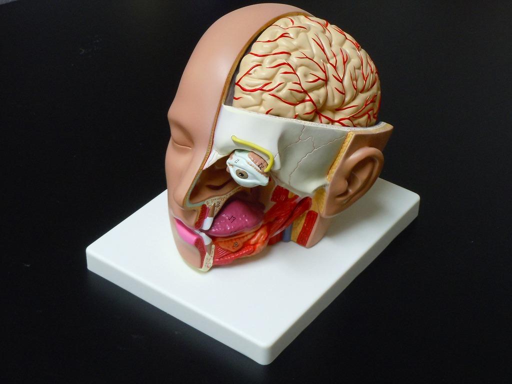 【送料無料】人体模型 脳模型 頭部全体 精密解剖模型