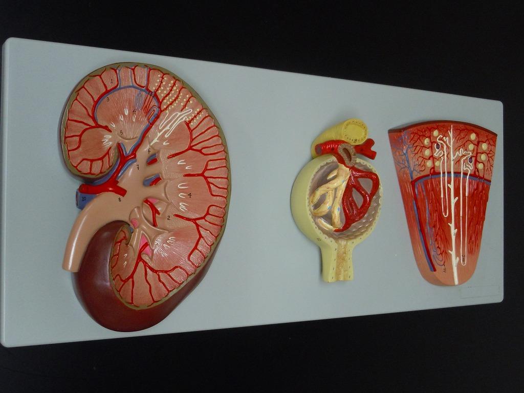 【送料無料】 人体模型 腎臓 泌尿器 糸球体 ネフロン 腎臓拡大 デラックス模型