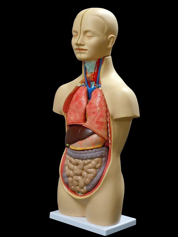【送料無料】人体模型 全身内臓 臓器 トルソー アルティメットミニ 12分解 50cm