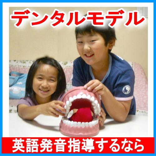 英語発音指導教材・教具「デンタルモデル」