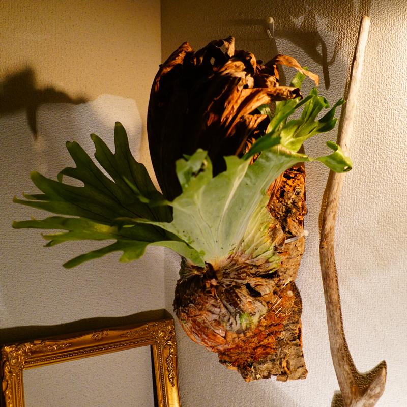 森の王冠 この存在感 スーパーセール ※ビカク担当からひとこと 大きめのグランデです 枯れた貯水葉の朽ちた感じが魅力的 グリーンと茶色の葉のコントラストがとても綺麗です 現物一点のみ ビカクシダ グランデ BIG 板付 プラティケリウム 観葉植物 ギフト 数量は多 吊り下げ インテリア Platycerium 麋角シダ プレゼント コウモリラン お祝い 壁掛け おしゃれ