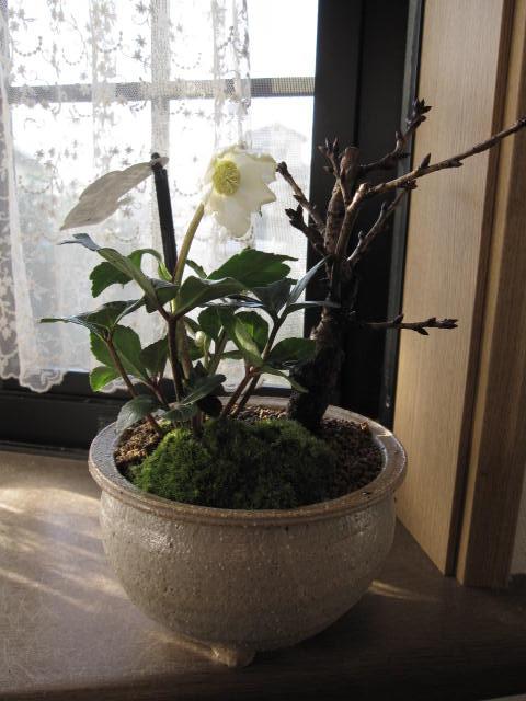 2018年クリスマスローズ開花【幸せの白い花】 【幸せギフト】<BR>盆栽:桜と クリスマスローズの寄せ植え<BR><BR> お届けは花芽確認のクリスマスローズのお届けとなります。