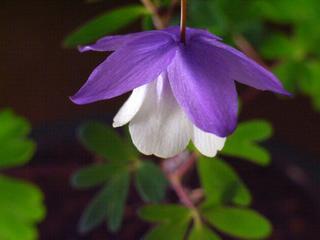 毎年咲きますよかわいくて、美しいですよ 二色咲き風鈴オダマキ【山野草】