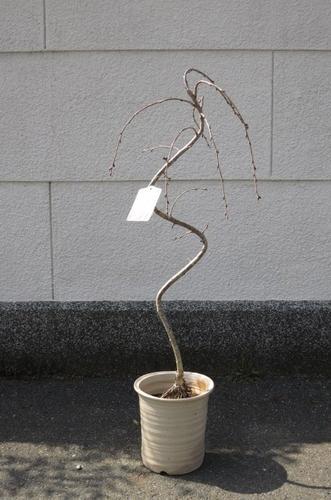 八重樱弥惠哭泣樱桃树盆栽推荐与樱桃的符号树,樱桃开花长崎碗