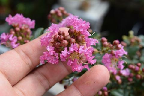 サルスベリは花お花の期間が長いので、夏の間ずっと楽しめます。 かわいい百日紅鉢植えサルスベリ ピンク 信楽鉢植え 開花は7月~8月頃 ミニ盆栽 さるすべり鉢植え