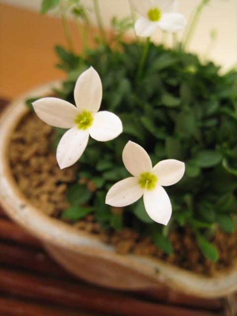 ふるさと割 毎年咲きますよ 多年草 大規模セール 雛草と信楽焼き 2020年ヒナ草 信楽鉢入り 冬かわいい雛草