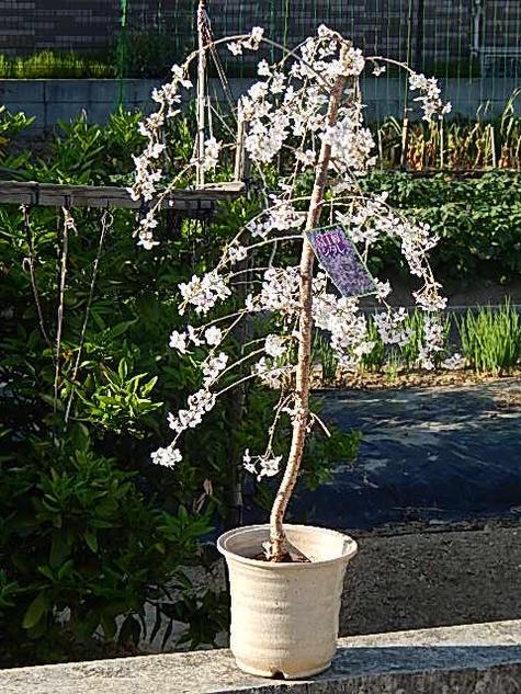 富士しだれ桜2020年4月頃開花【しだれ富士桜】 富士桜しだれ桜盆栽 送料無料 陶器鉢入り