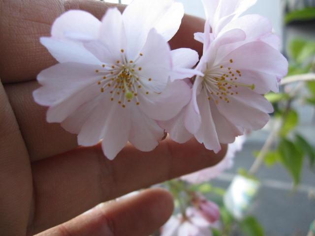 樱花苗akoredo樱花樱庭树