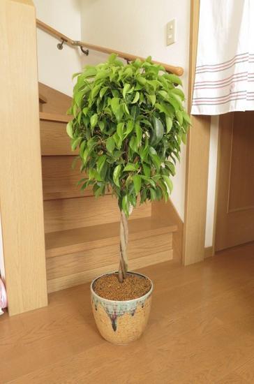 送料無料 【観葉植物】フィカス・ベンジャミナ信楽鉢植え