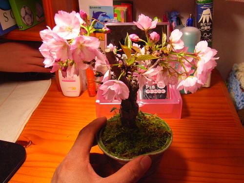 自宅でお花見ができる さくら盆栽 開花は遅咲きで4月中頃~ 開花時期は気温 地域によりまして 多少前後します 【5月からは葉桜でのお届け】自宅でさくらのお花見2021年開花4月に桜盆栽桜 旭山桜盆栽 ミニ盆栽のサクラでもちゃんとお花見が楽しめます。