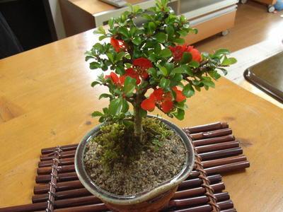 贈り物に最適開花は4月頃が多く咲きます  長寿梅は四季咲き  性で条件さえ合えば年数回赤い花を咲かせ  てくれます。   年に1回は咲く長寿梅盆栽 【長寿梅】【ミニ盆栽】  お誕生日プレゼントに可愛いミニ盆栽  信楽鉢植え 縁起の良い樹