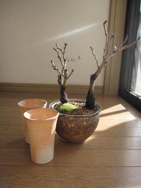 桜盆栽:ツイン桜お花見セット盆栽炎桜盆栽<BR>信楽鉢入り<BR> 2020年花芽付の桜盆栽となります。