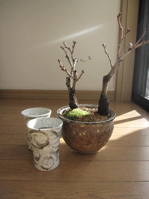 桜盆栽ツイン桜お花見セット盆栽海雲桜盆栽<BR>信楽鉢入り<BR>2020年花芽付の桜盆栽となります。