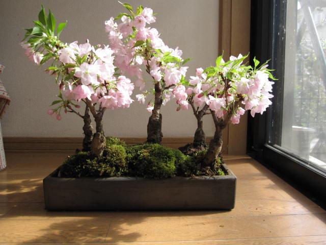 和花蕾附带的樱花盆景在含成排的赏花樱花樱花盆景樱花树樱花盆景樱花盆景礼物樱花盆景信乐钵的2017年成为祝贺的送礼物。