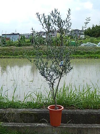 中海沿岸で広く栽培されているオリーブですが実は発祥の地は小アジア 葉の美しさ 品質保証 花の可憐さ 実のおいしさで家庭果樹としてもたいへん人気が高まっています 観葉植物 オリーブ マンザ二ロオリーブ 買取