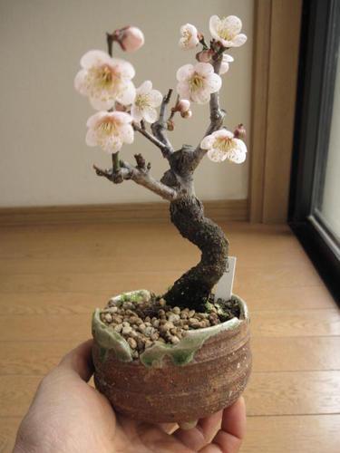 花も綺麗ですが花が開くと、自然の梅の良い香りを漂わせます。とても癒される天然香水 冬の贈り物にも最適です。   梅盆栽 【盆栽】信楽焼き入り見驚梅梅の盆栽