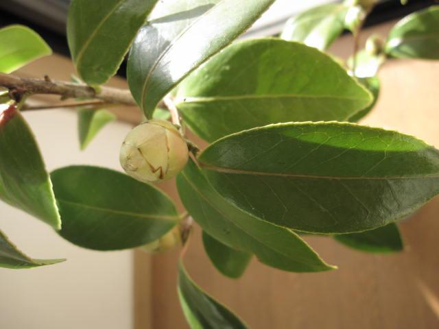 Oshimatsubaki Camellia seedling Hikaru Genji