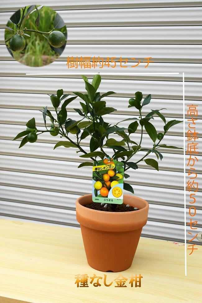 健康と長寿を願って OUTLET SALE 大切な方への贈り物にいかがですか 2021年9月のお届けは実付きです種なしキンカン ご予約品 種なしキンカン ぷち丸ギフトに金柑鉢植えキンカン家庭で手頃に果樹栽培 ぷちまる