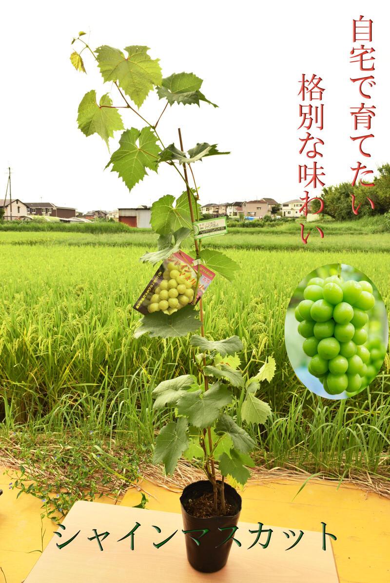 大好評です 毎日激安特売で 営業中です 皮まで美味しい話題のブドウです 2021年6月高さ60センチ前後シャインマスカット苗 育てる楽しみぶどう 12月~4月のお届け時は葉が落葉しています シャインマスカット苗木