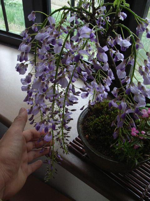 ギフト 育てる楽しみ藤盆栽2020年4月開花藤盆栽となります。 盆栽:藤と苔ももの 寄せ植え【送料無料】【藤盆栽】