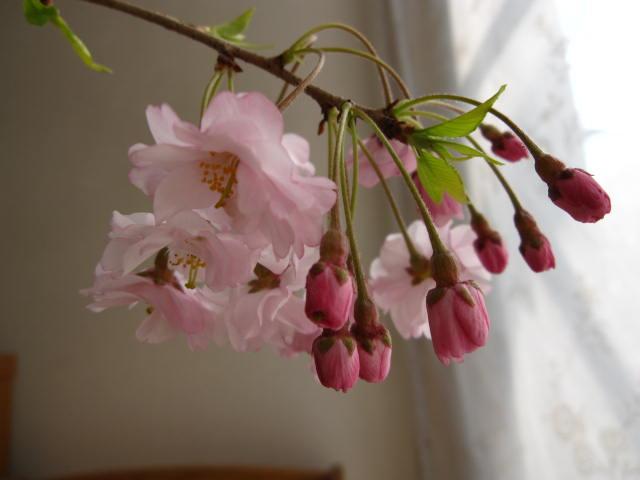 八重紅しだれ桜鉢植え2020年4月中頃開花 しだれ桜