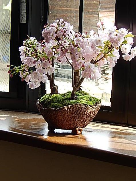 盆栽2020年4月に桜の満開のお花見が楽しめる桜盆栽サクラ盆栽桜の盛り合わせお祝いの贈り物 桜 盆栽【プレゼントに鉢植え桜】【さくら盆栽】盆栽