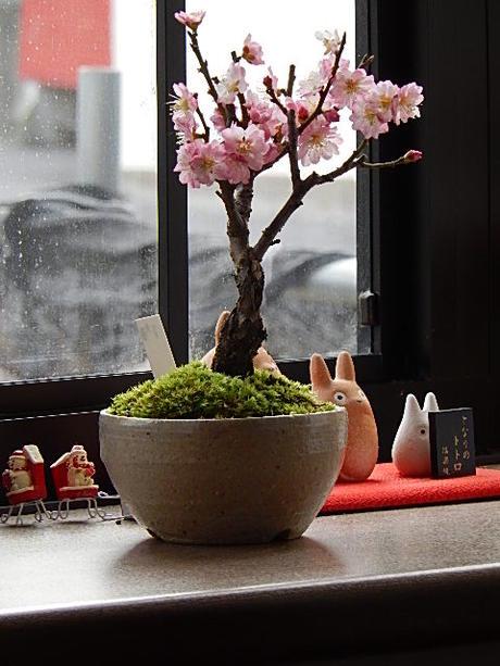 盆栽 梅2020年2月頃開花ミニ盆栽<BR>梅盆栽 八重ピンク咲き