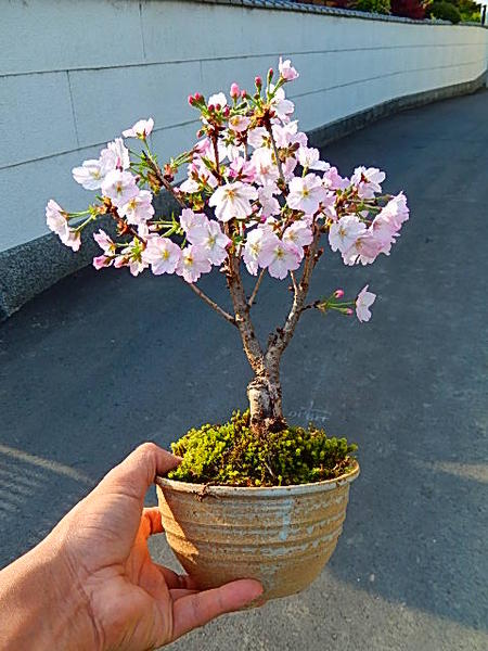 Japanese Flowering Cherry Bonsai Tree Bonsai Tree