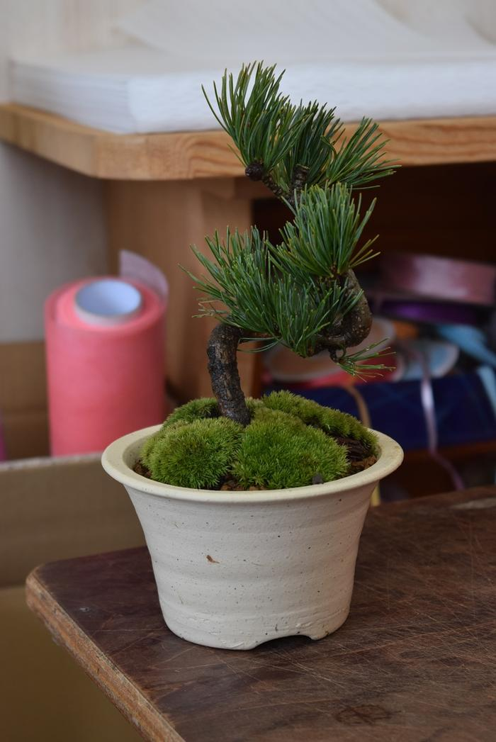 節目の贈り物にもおすすめです 松盆栽は丈夫で育てやすい品種ですミニ盆栽は贈り物におすすめです