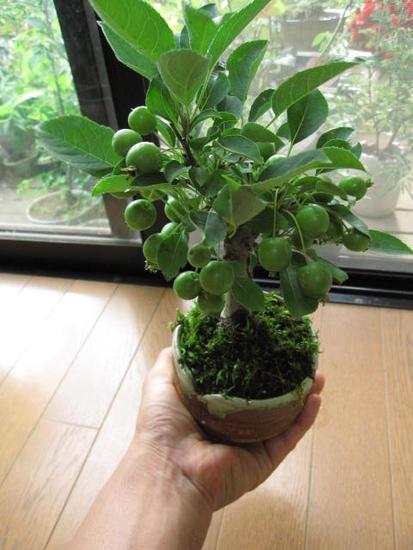 夏は青りんご秋には 真っ赤に ミニりんご自然の恵みに感謝 プレゼント姫りんご  鉢植え  ギフト 盆栽ミニ盆栽 6月お届け時は 青リンゴです