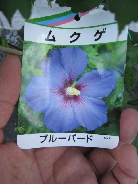 中国・インド原産で韓国の国花でもあります。古典の時代ムクゲは「朝顔」とも呼ばれていました。 ムクゲ苗木 ブルーバード2021年開花苗 ブルー色に咲くムクゲです。