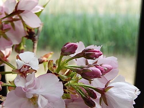 Cherry Blossom cherry Bonsai: cherry delivered at trees cherry tree bonsai cherry bonsai gift cherry bonsai Shigaraki bowls with.