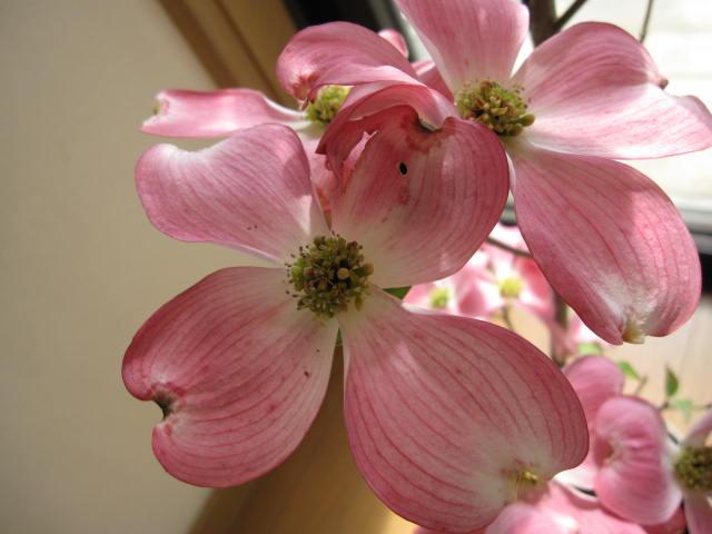 Cobonsai hanamizuki symbol tree dogwood pink flowers pink dogwood hanamizuki symbol tree dogwood pink flowers pink dogwood 2015 spring flowering buds and mightylinksfo