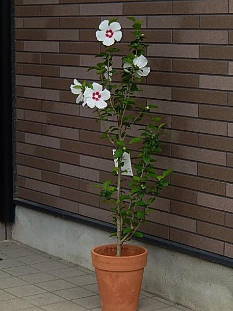 古典の時代ムクゲは「朝顔」とも呼ばれていました。 ムクゲ  ムクゲ レッドハート鉢植え  2021年開花
