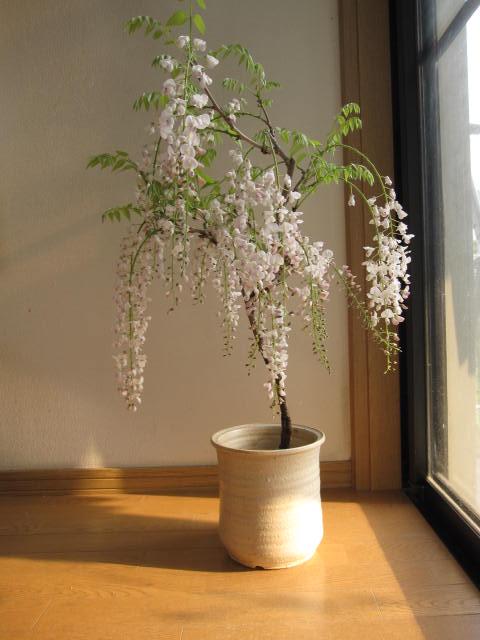 ギフト 2020年4月末頃開花のシロ藤信楽鉢入り白藤盆栽 白藤 藤盆栽